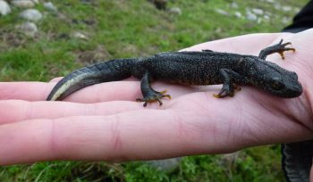 JBA Great crested newt male