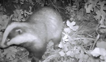 JBA Ecology Team Captures Badger Footage