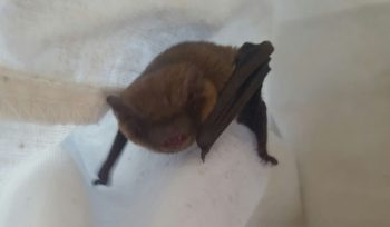 Common Pipistrelle bat found during a JBA bat survey