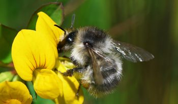 Shrill Carder bumble bee, Biodiversity Net Gain